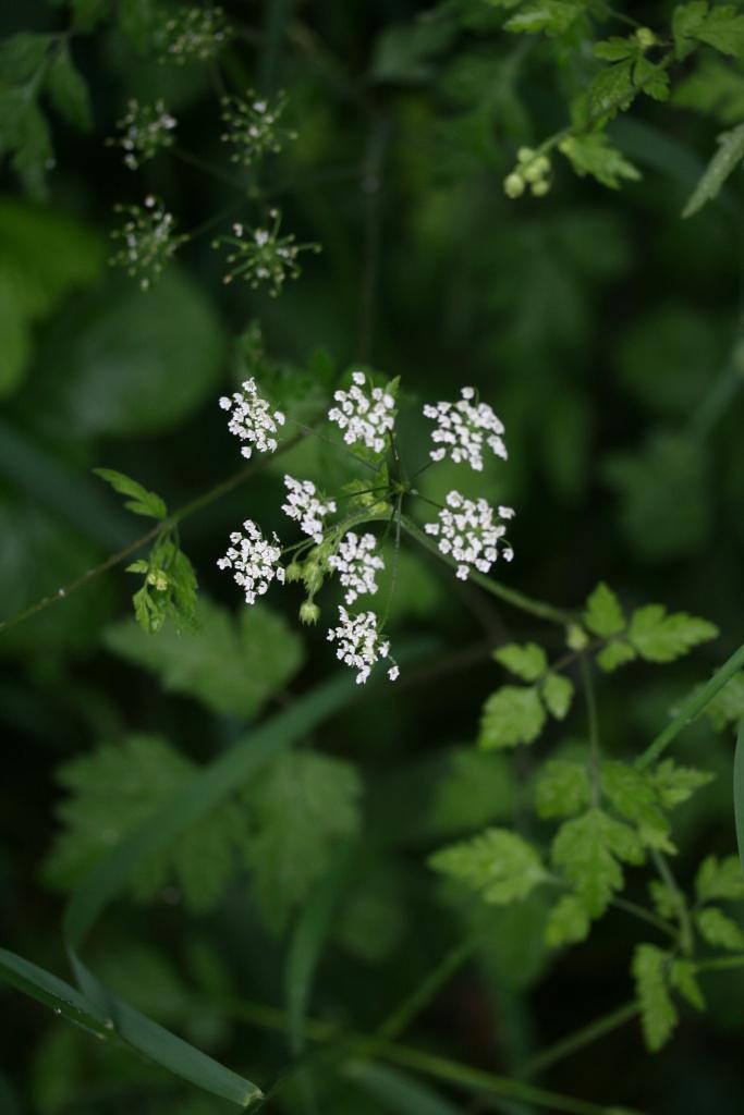 aethusa_cynapium_bloem