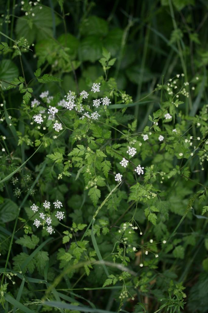 aethusa_cynapium_bloem1
