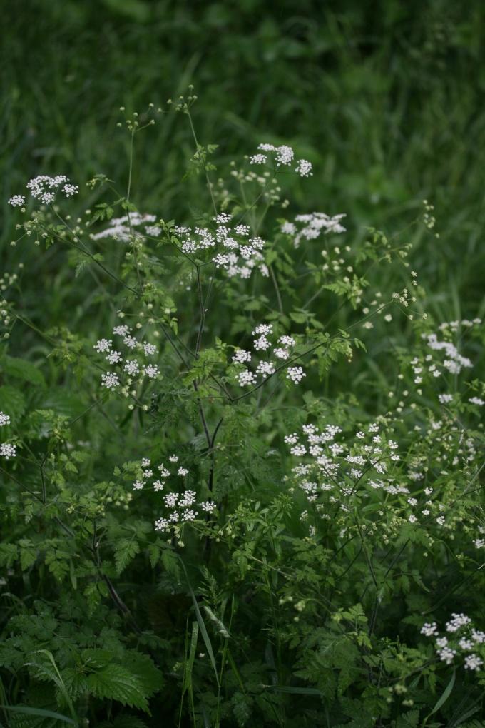 aethusa_cynapium_plant