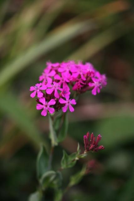 vaccaria_hispanica_bloem1
