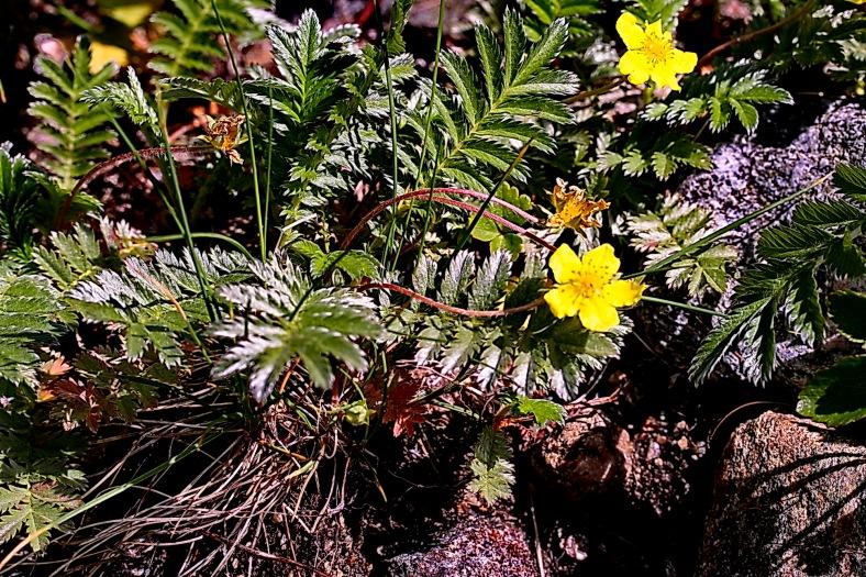 potentilla_aserina_plant