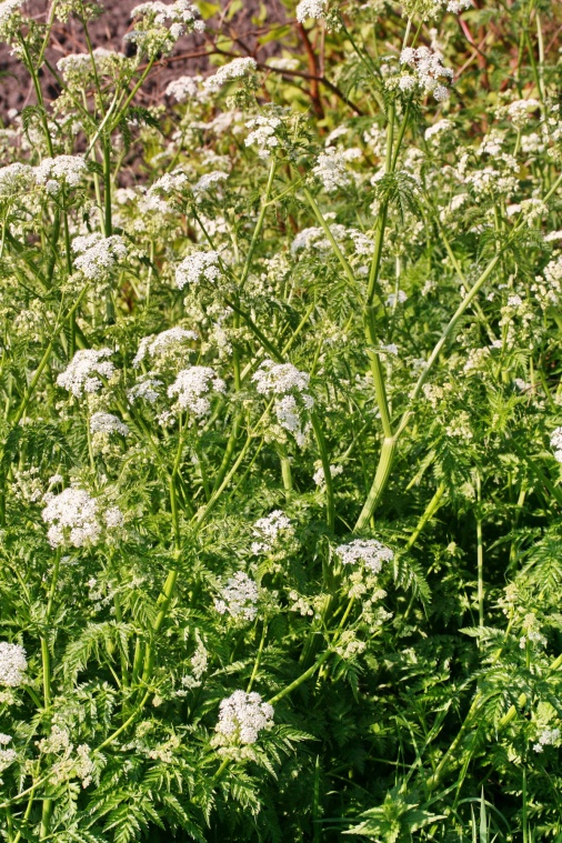 anthriscus_sylvestris_plant
