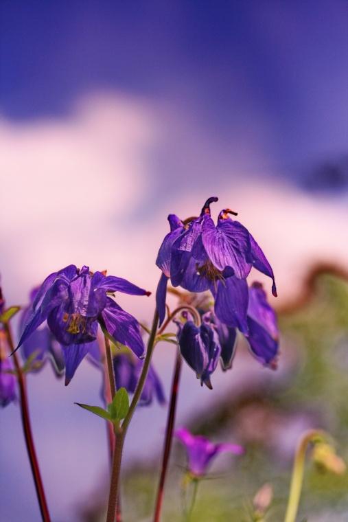 aquilegia_vulgaris_bloem