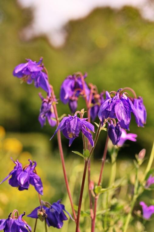 aquilegia_vulgaris_bloem1