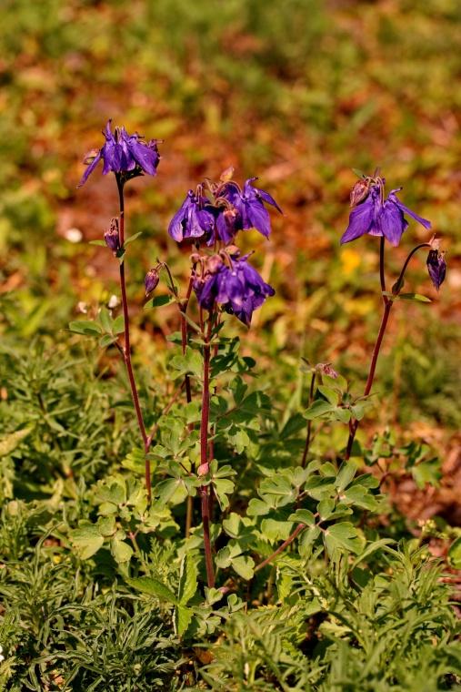 aquilegia_vulgaris_plant