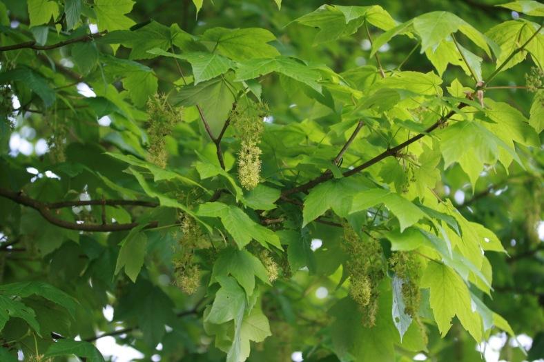 acer_pseudoplatanus_plant