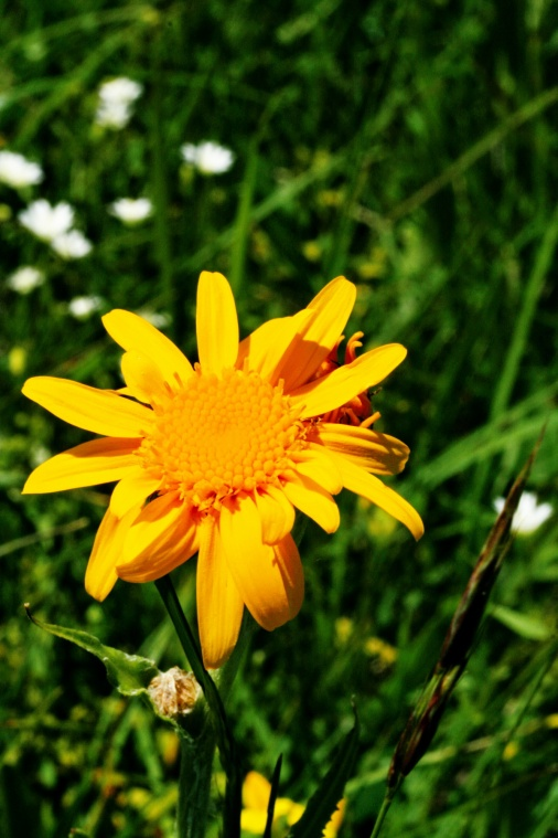 arnica_montana_bloem