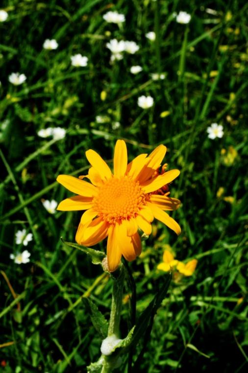 arnica_montana_bloem1