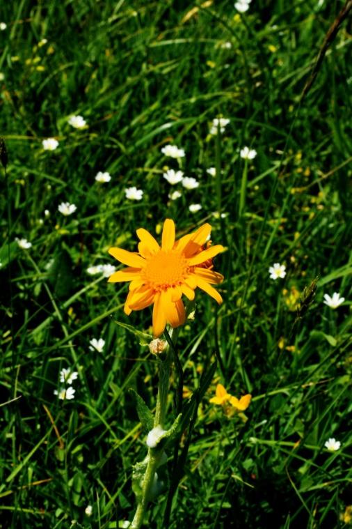 arnica_montana_plant