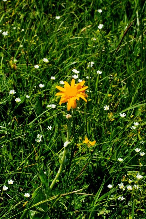 arnica_montana_plant1