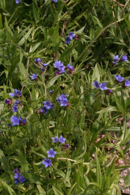 asperugo_procumbens_plant