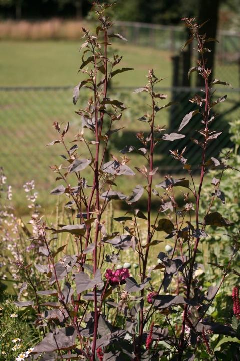 atriplex_hortensis_rubra_plant