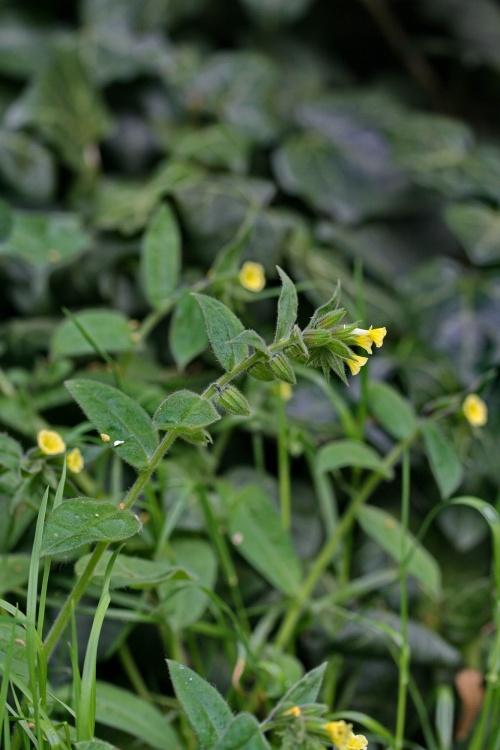 anchusa_ochroleuca_plant