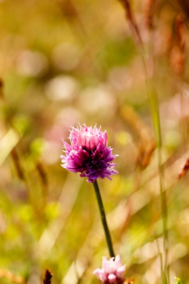 Allium lineare