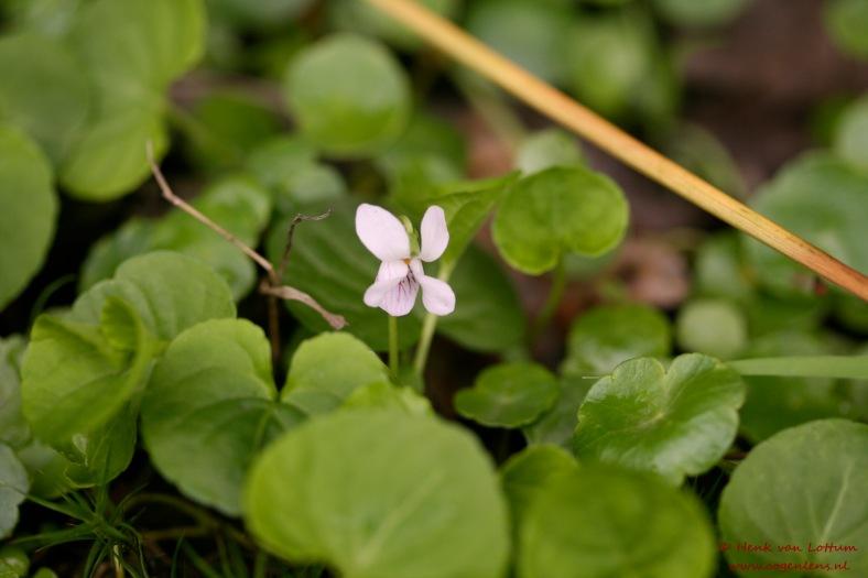 viola_palustris_bloem