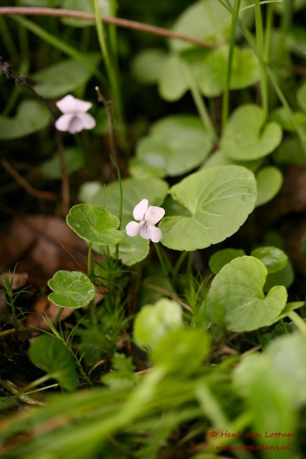 viola_palustris_plant