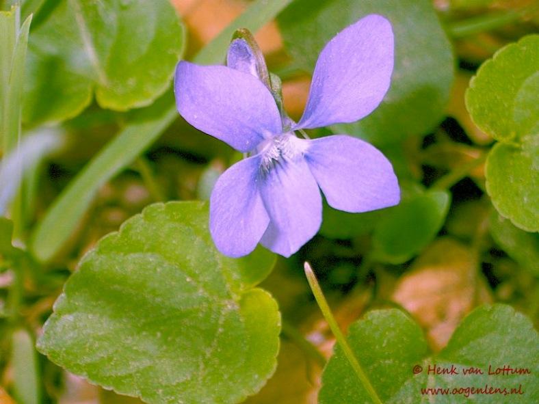 viola_reichenbachiana_bloem1