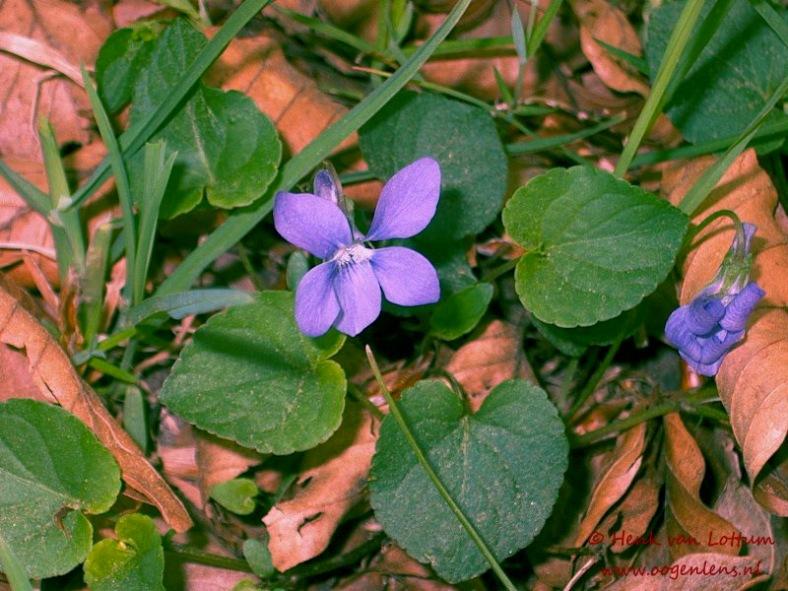 viola_reichenbachiana_plant
