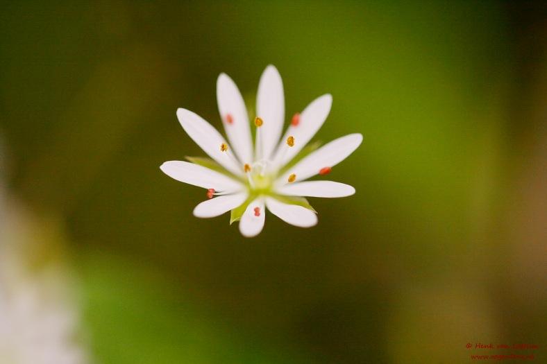 stellaria_graminae_02