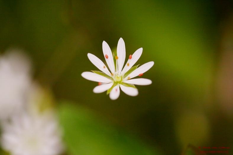stellaria_graminae_03